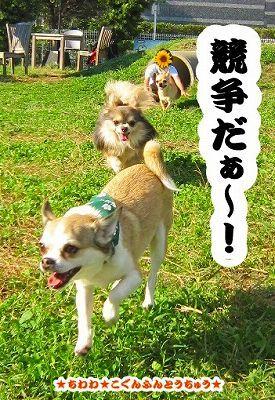 ★チワワ・孤軍奮闘中★★こぐんふんとうちゅう★