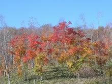 ほべつの森のこばなし帳-モミジ林の紅葉