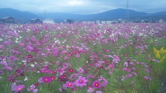 Dr.ミーヤンの下手っぴい釣りブログ-コスモス畑,11,9/21