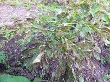 Web-Dが農業するけど他もするぞ~!!-ジャガイモの葉を食われる
