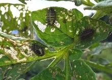 Web-Dが農業するけど他もするぞ~!!-ニジュウヤホシテントウの幼虫