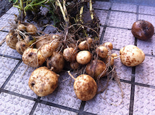 Web-Dが農業するけど他もするぞ~!!-2011最初のジャガイモ収穫量