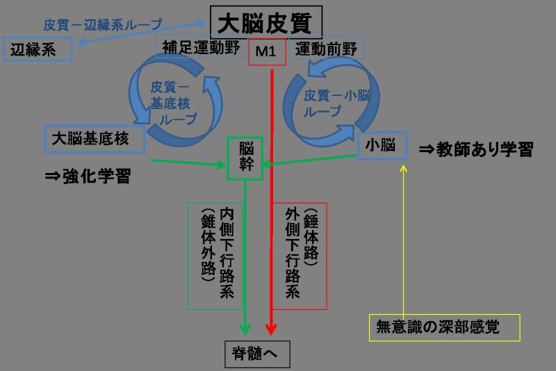 カッサーノのニューロリハ〜脳卒中リハビリを考える〜基底核と小脳コメント