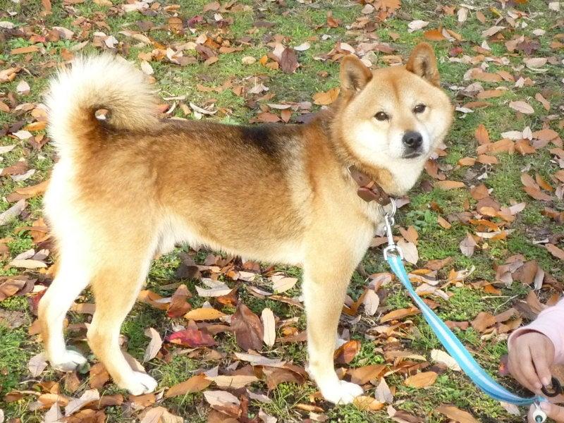 柴犬「ケン」のぼちぼちライフ