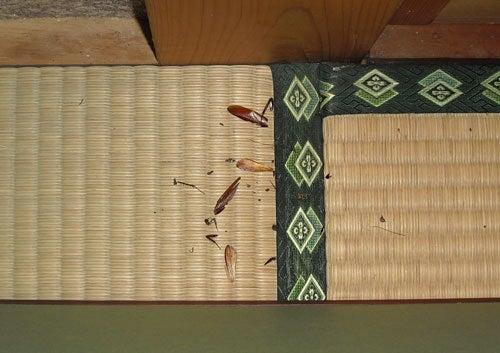 害虫・害獣から街を守るPCOの調査日記-クロゴキブリの残骸