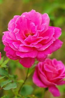 毎日はっぴぃ気分☆-ピンク薔薇(縦)