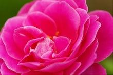 毎日はっぴぃ気分☆-ピンク薔薇(アップ)