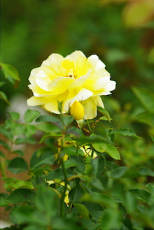 毎日はっぴぃ気分☆-黄薔薇(縦)