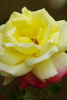 毎日はっぴぃ気分☆-黄紅薔薇