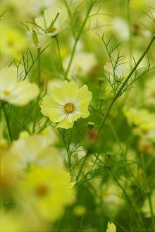 毎日はっぴぃ気分☆-黄色コスモス畑