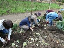 かもの子農園でボランティアしよう♪-さつま芋掘り
