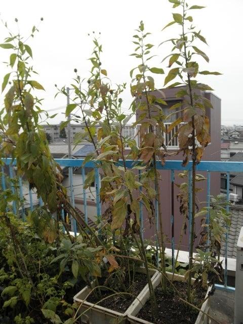 大好き☆ベランダ菜園-11月の菊芋
