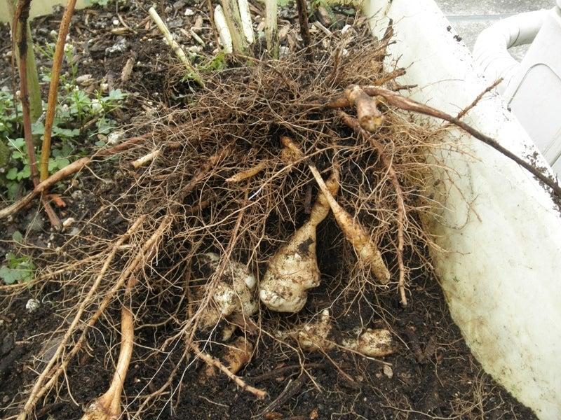 大好き☆ベランダ菜園-菊芋の収穫