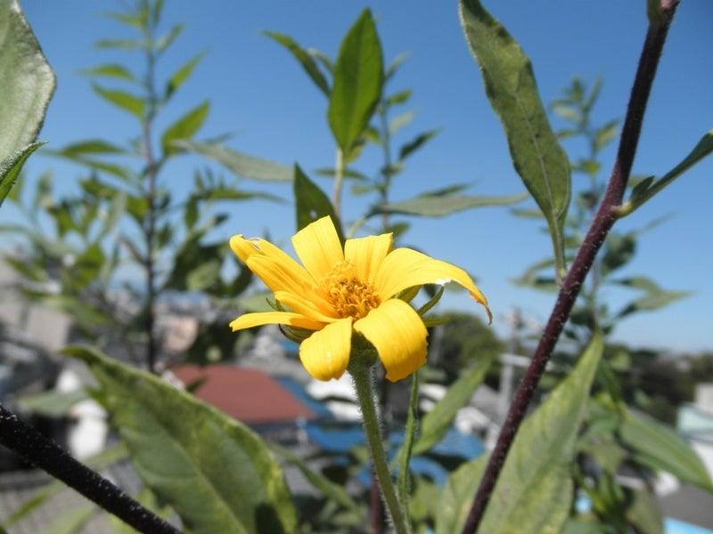 大好き☆ベランダ菜園-菊芋の花