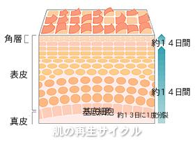 皮膚の再生サイクル