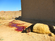Africa体験記-羊血