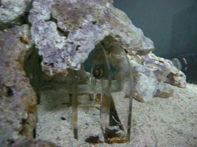 ミドリフグは汽水それとも海水。 | プクタロウとゆかいな仲間 ...