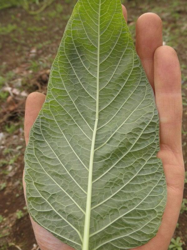 無肥料野菜の話-カラルー