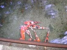 夫婦世界旅行-妻編-池の鯉