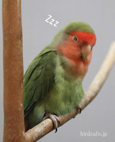 ようこそ!とりみカフェ!!~鳥カフェでの出来事や鳥写真~-まるっこいコザクラ