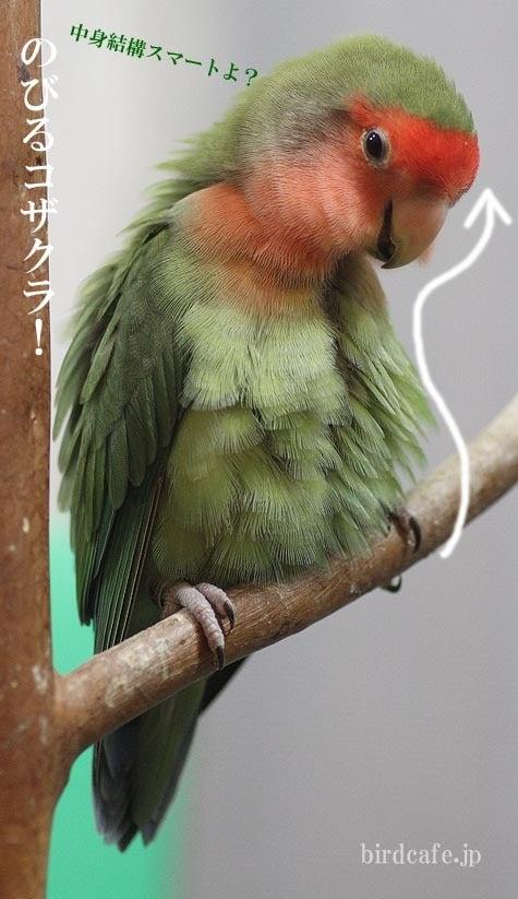 ようこそ!とりみカフェ!!~鳥カフェでの出来事や鳥写真~-ぐにょんなコザクラ