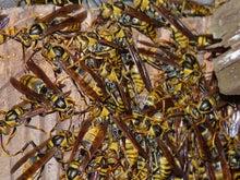 里山おやじのブログ-キアシナガバチ