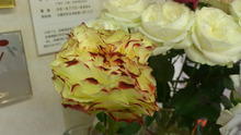 診療室のバラ-DSC_0086.JPG