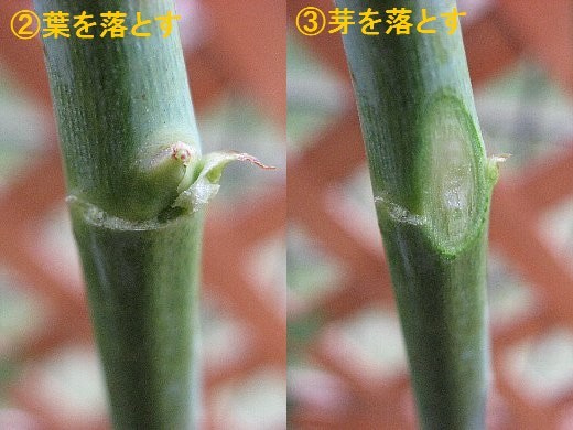 挿し穂の処理1