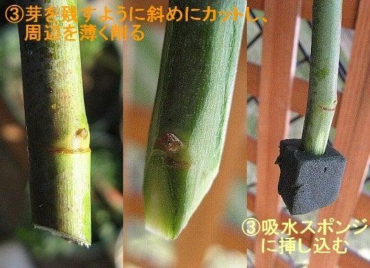 挿し穂の処理2