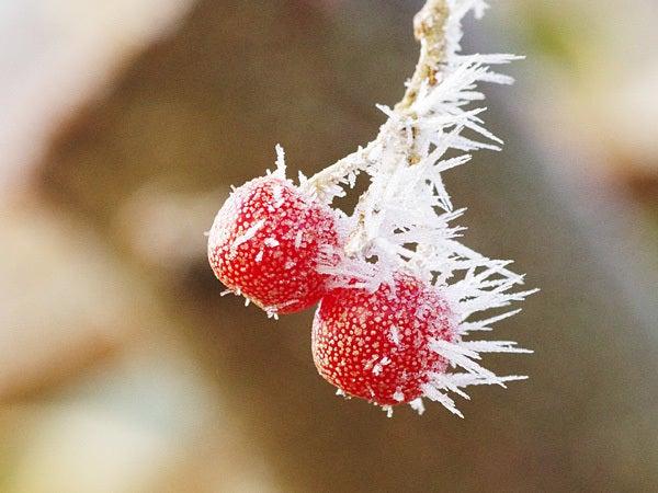 神戸・六甲山ホテルスタッフの「四季折々」-111225赤い実に霜