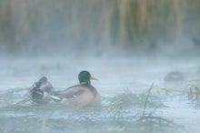 $鳥景写真家-タクミの野鳥ブログ-鳥景写真-靄の中のカモ