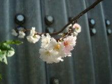 Mory's-Familyの世界-十月桜