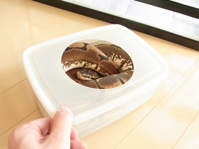 Happy☆BallPython