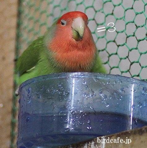 ようこそ!とりみカフェ!!~鳥カフェでの出来事や鳥写真~-満足するコザクラインコ!