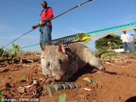 音史のブログ-アフリカオニネズミ5