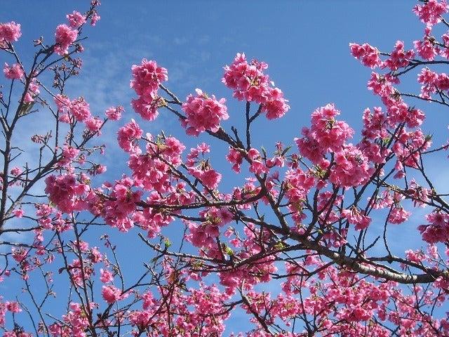 うるまんちゅ 海に暮らす-今帰仁グスク桜まつり