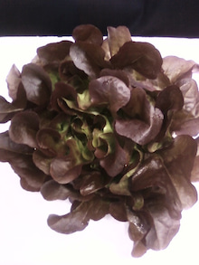 シニア野菜ソムリエSEIJIの野菜日記-__.JPG