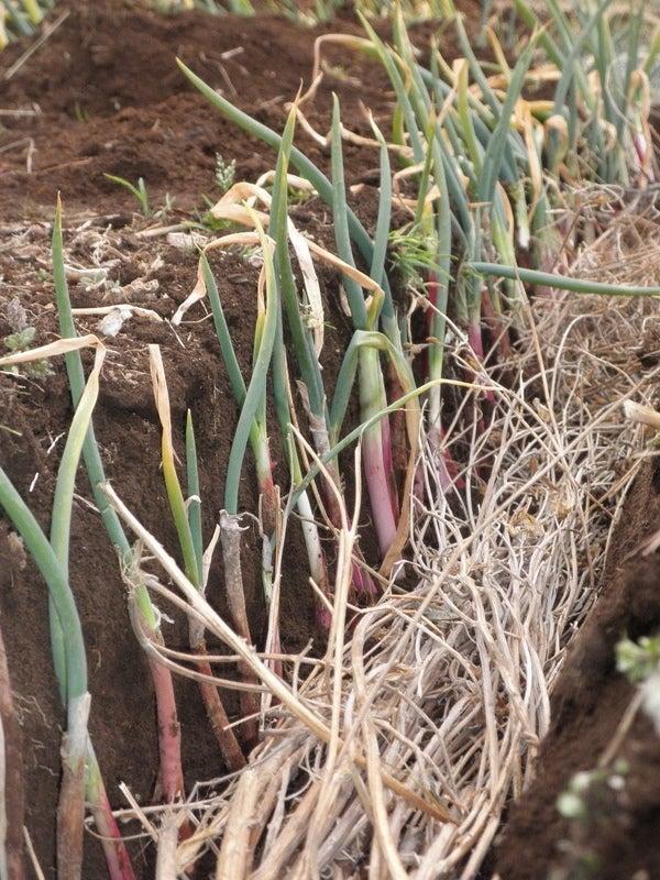 無肥料野菜の話-赤ひげネギ