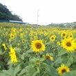 沖縄・ひまわり畑♪