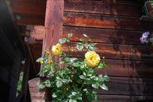 『幻の旅路』大湾節子のブログ-黄色いバラの花
