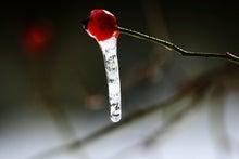 「ぎゃらりーたちばな」更新日記-バラの実と氷柱