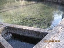 戯言-氷の下の鯉