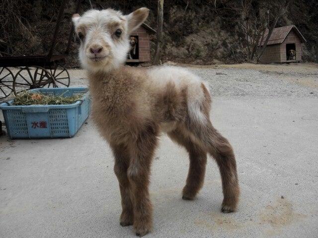 人をお金持ちに導く山羊の物語 - 詳細表示 - コスタリカ共和村 ...