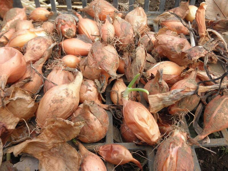 無肥料野菜の話-タマネギ