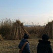 今後の西の湖のヨシ刈…
