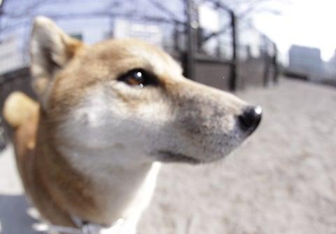 $柴犬 八子の「犬相撲」