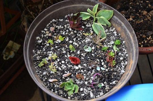 ケロケロの散歩道-多肉植物