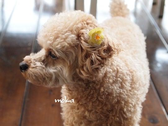 キヨミのガーデニングブログ 長澤淨美のアメブロオフィシャルブログPowered by Ameba-トイプードル モカの画像