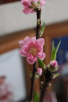 日々 更に駆け引き-桃の花