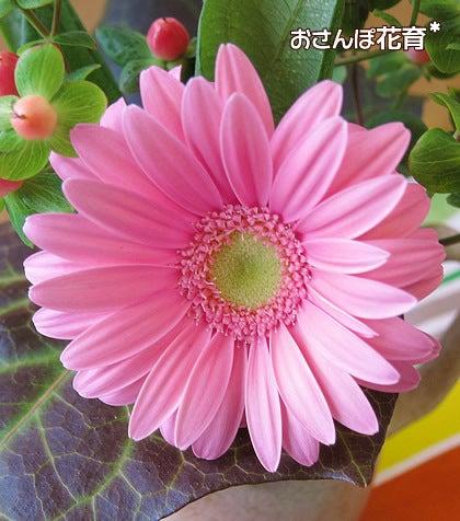 動画で見る!3分フラワーアレンジ-咲き始めのガーベラ